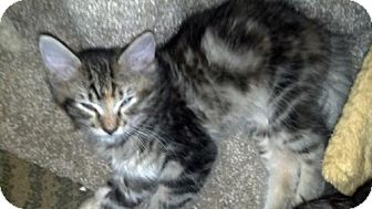 Domestic Longhair Kitten for adoption in Oviedo, Florida - Diamonique