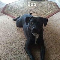 Bloodhound/Labrador Retriever Mix Dog for adoption in Thomaston, Georgia - Gunter
