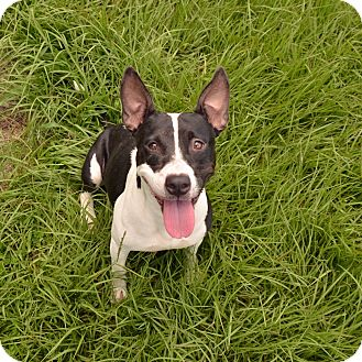 Jack Russell Terrier Mix Dog for adoption in Brooksville, Florida - 10311472 JESABELLE