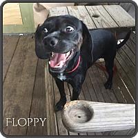 Adopt A Pet :: Floppy - DeForest, WI