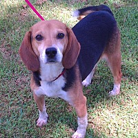 Adopt A Pet :: Mickey - Metamora, IN
