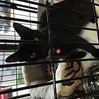 Adopt A Pet :: Ramona - Herndon, VA