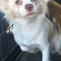 Adopt A Pet :: Fifi - Palm Desert, CA