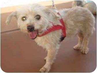 Yorkie, Yorkshire Terrier Mix Dog for adoption in Dunedin, Florida - Charlie