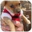 Photo 3 - Chihuahua/Dachshund Mix Puppy for adoption in Poway, California - Greta's Babies