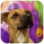 Photo 1 - Rhodesian Ridgeback/Boxer Mix Puppy for adoption in Cincinnati, Ohio - Drake: in Covedale