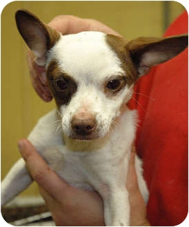 Chihuahua Mix Puppy for adoption in Ripley, Tennessee - Hope  (1489)