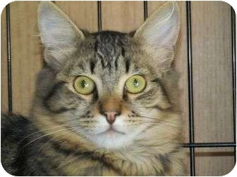 Maine Coon Cat for adoption in Rancho Cordova, California - Tyler