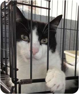 Domestic Shorthair Cat for adoption in Mission, British Columbia - Topper