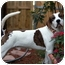 Photo 1 - Pointer/American Bulldog Mix Dog for adoption in Ft. Myers, Florida - Charlie