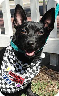 Manchester Terrier/Rat Terrier Mix Dog for adoption in Santa Ana, California - Grueber