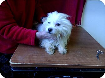 Maltese Mix Dog for adoption in Seattle, Washington - Tally