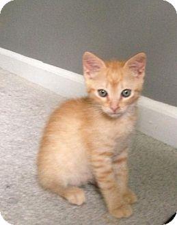 Domestic Shorthair Kitten for adoption in Monroe, Georgia - Glavin