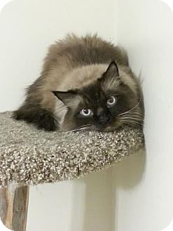 Himalayan Cat for adoption in Madison, Wisconsin - Dexter