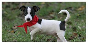 Rat Terrier Mix Puppy for adoption in Brattleboro, Vermont - Blake
