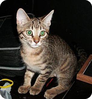 Domestic Mediumhair Kitten for adoption in Chandler, Arizona - Elizabeth Swan