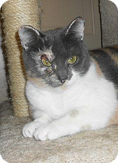 Domestic Shorthair Cat for adoption in Chesapeake, Virginia - Lilac