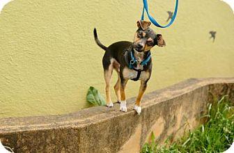 Manchester Terrier/Rat Terrier Mix Dog for adoption in Portland, Oregon - Artie