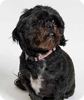 Lhasa Apso Dog for adoption in Truckee, California - Babs