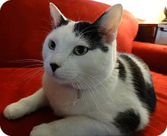 Domestic Shorthair Cat for adoption in Davis, California - Sir Charlie Chaplin