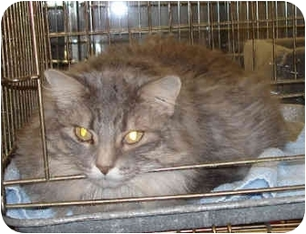 Maine Coon Cat for adoption in Overland Park, Kansas - Sophie