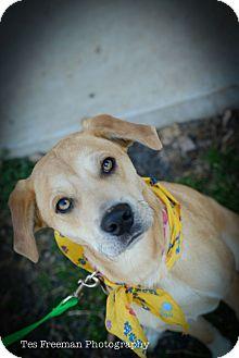 Labrador Retriever Mix Dog for adoption in Muldrow, Oklahoma - Amber