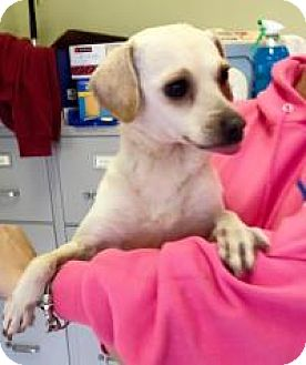 Chihuahua Mix Dog for adoption in Newburgh, Indiana - Macy