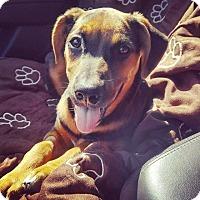 Adopt A Pet :: Calamity Jane - Austin, TX