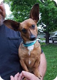 Chihuahua/Dachshund Mix Dog for adoption in Rockford, Illinois - Apollo
