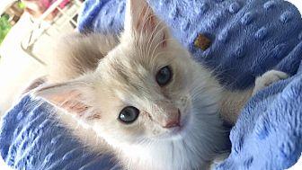 Domestic Mediumhair Kitten for adoption in Anderson, South Carolina - Luigi