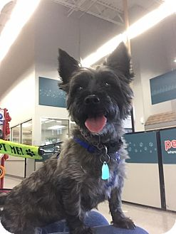 Cairn Terrier Dog for adoption in Maryville, Missouri - Toto