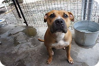Pit Bull Terrier Mix Dog for adoption in Henderson, North Carolina - Rosetta