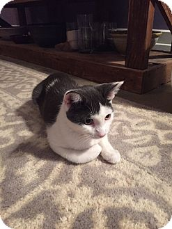 Domestic Shorthair Kitten for adoption in Jersey City, New Jersey - Nina