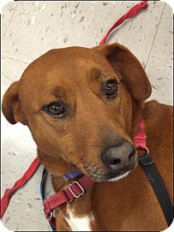Labrador Retriever Mix Dog for adoption in Brattleboro, Vermont - Annie