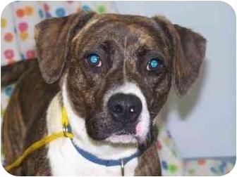 Boxer Mix Dog for adoption in New Carlisle, Indiana - Dixie