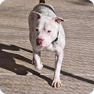 American Staffordshire Terrier Mix Dog for adoption in Sierra Vista, Arizona - Titus