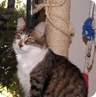 Norwegian Forest Cat Cat for adoption in Salem, Oregon - Dempsey