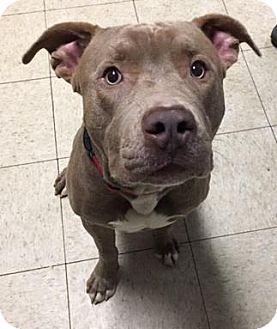 Terrier (Unknown Type, Medium)/American Pit Bull Terrier Mix Dog for adoption in Fulton, Missouri - Dasani- Ohio