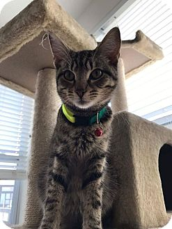 Domestic Shorthair Cat for adoption in Stafford, Virginia - McCoy