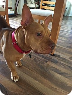 English Bulldog/French Bulldog Mix Dog for adoption in Washington, D.C. - Angel