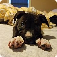 Adopt A Pet :: Missy Elliott - Acushnet, MA