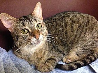 Domestic Shorthair Cat for adoption in Bloomington, Minnesota - Nina