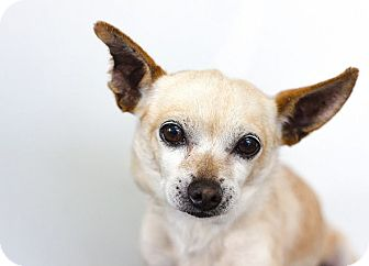 Chihuahua Dog for adoption in Berkeley, California - Tony