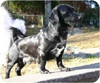 Dachshund/Labrador Retriever Mix Dog for adoption in Naugatuck, Connecticut - Austin
