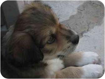 Yorkie, Yorkshire Terrier/Poodle (Miniature) Mix Puppy for adoption in Fenton, Missouri - Ralphie