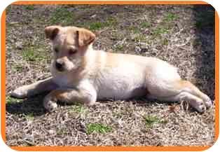 Golden Retriever/Collie Mix Puppy for adoption in Arlington, Virginia - Simba