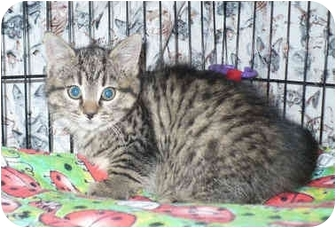 Domestic Mediumhair Kitten for adoption in Colmar, Pennsylvania - Smurf