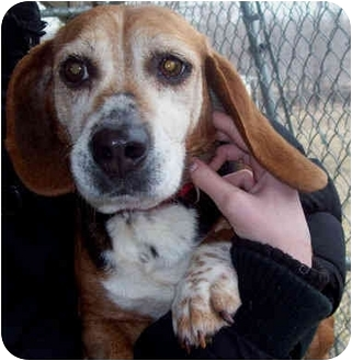 Beagle Dog for adoption in Marseilles, Illinois - Noel & Joy