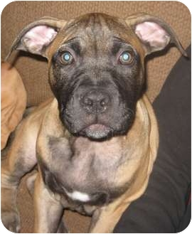 Pit Bull Terrier/Mastiff Mix Puppy for adoption in Worcester, Massachusetts - Jax