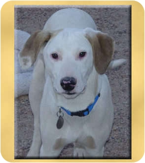 Labrador Retriever/Whippet Mix Puppy for adoption in Scottsdale, Arizona - Clyde